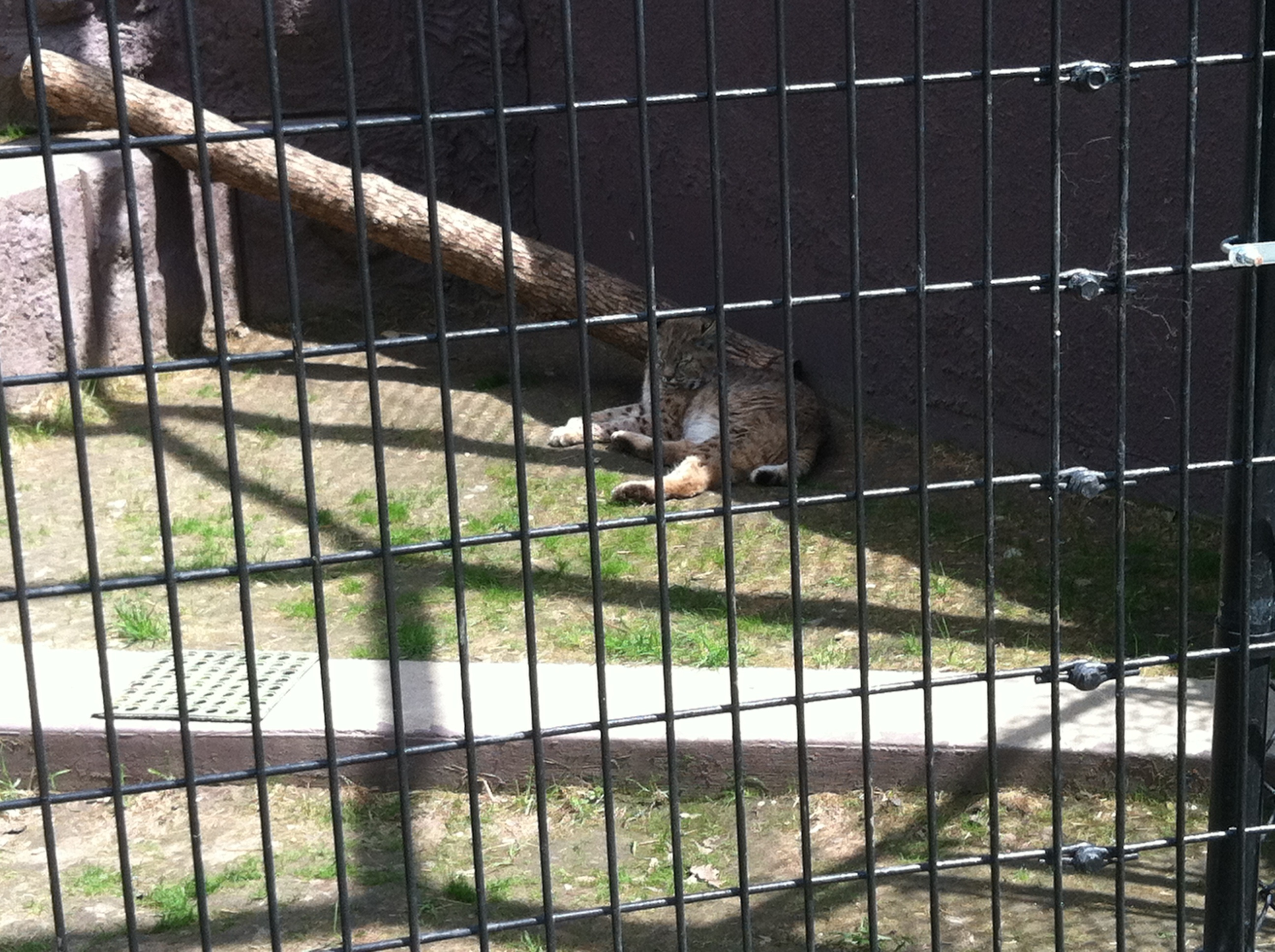 The animals were all out of their hiding spots today, including the Bobcat!