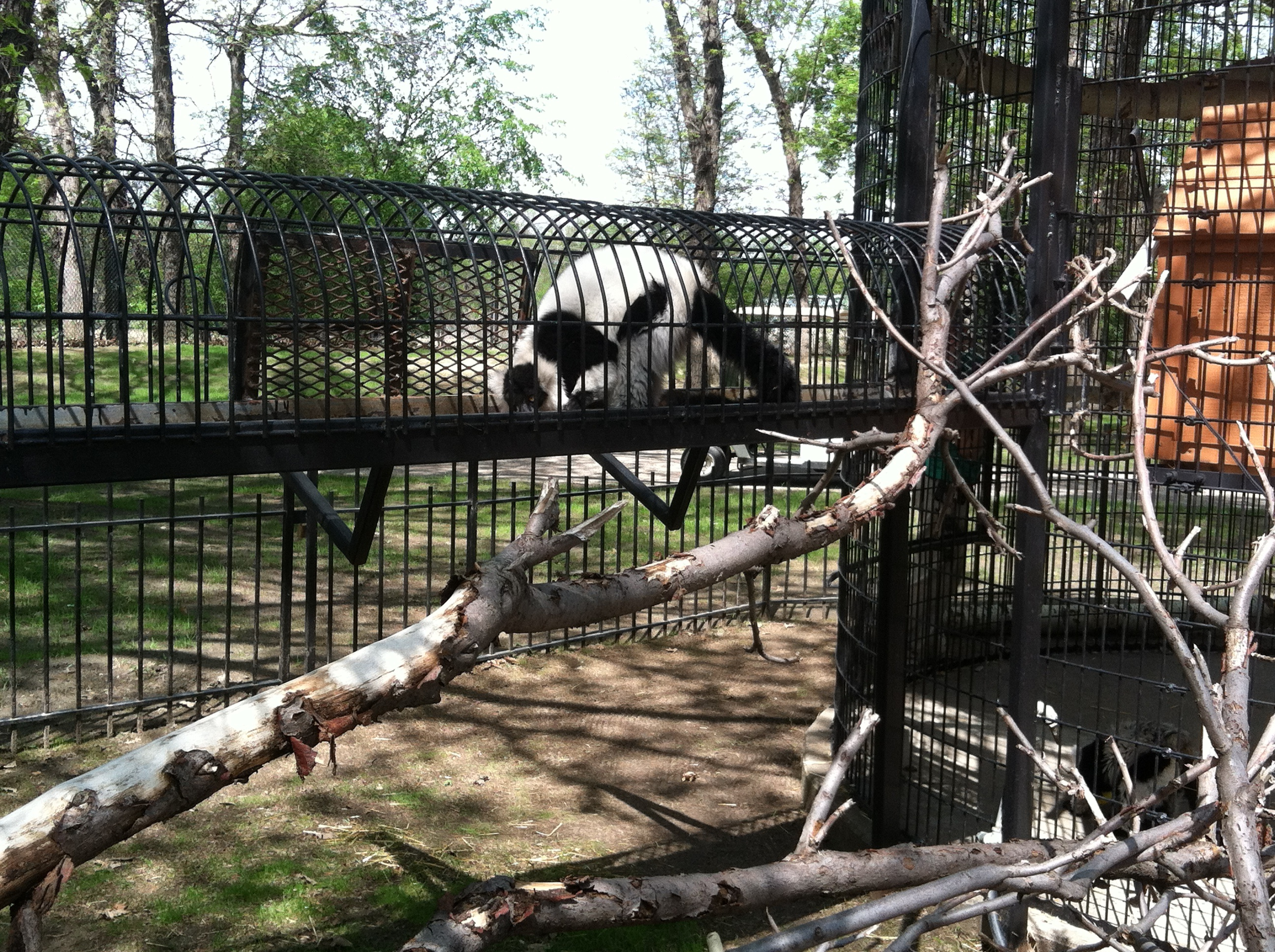 Ruffed lemur. The lemur cage is kinda neat- it has walkways so they can go to several different cages.